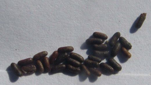 Hypericum olympicum seeds