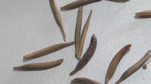 Tragopogon porrifolius seeds