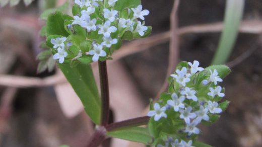 Valerianella turgida