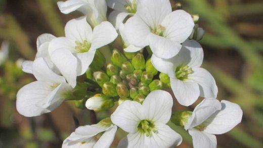 Cardamine raphanifolia subsp. acris