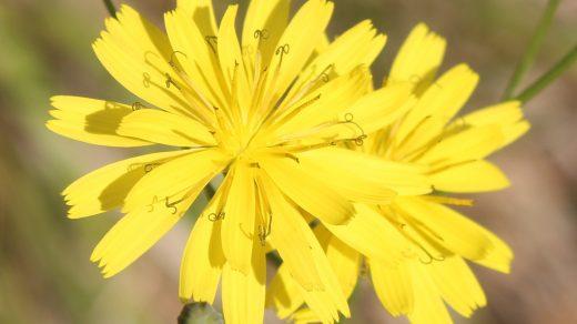 Lapsana communis subsp. intermedia