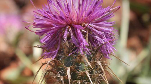 Centaurea urvillei subsp. armata