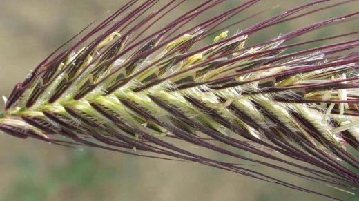Dasypyrum villosum